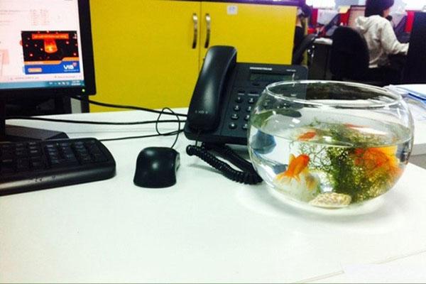 Chọn bể cá cho bàn làm việc nên chú ý đến màu sắc của cá.