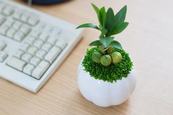 Chắc chằn trên bàn làm việc không thể thiếu sự hiện diện của cây may mắn.
