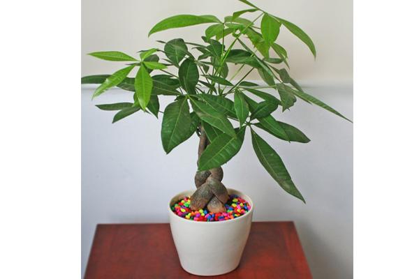 Trên bàn làm việc nên để cây gì? Kim ngân chính là gợi ý lý tưởng dành cho bạn.