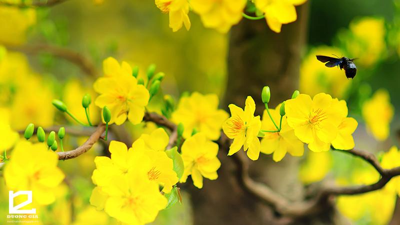 Cây hoa mai vàng - Loại cây phong thủy ngày Tết được ưa chuộng ở các tỉnh miền Nam