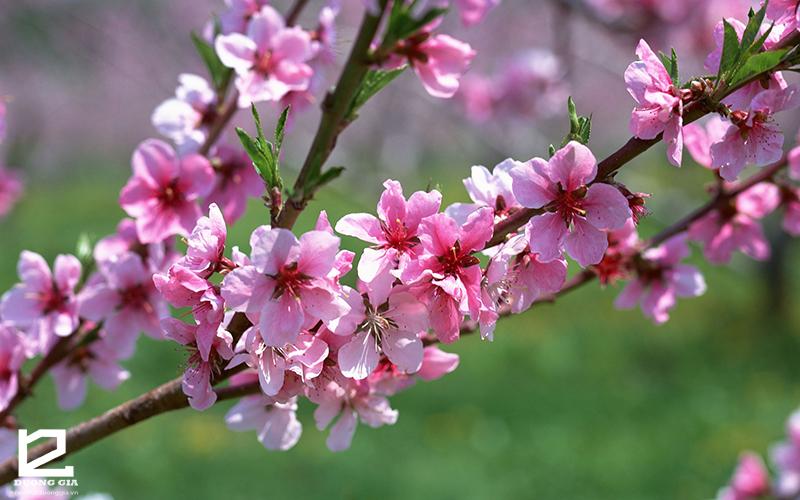Cây hoa đào - Cây phong thủy ngày Tết quen thuộc ở các tỉnh miền Bắc