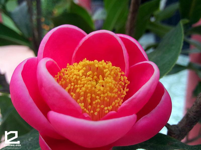 Cây hoa hải đường - Một trong 5 loại cây phong thủy ngày Tết tượng trưng cho mùa Xuân