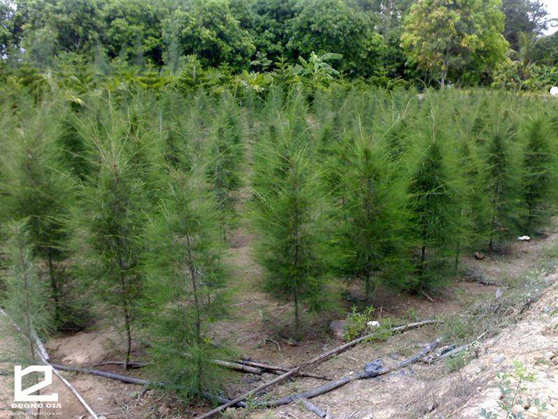 Cây dương là một trong số các loại cây không nên trồng trước nhà vì khả năng dẫn dụ ma quỷ.