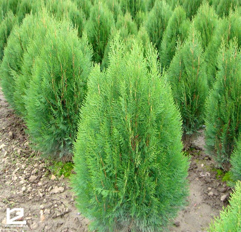 Không nên trồng cây bách trước nhà