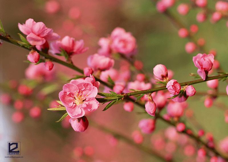 Cây phong thủy cho người tuổi Dần mệnh Kim - cây hoa đào