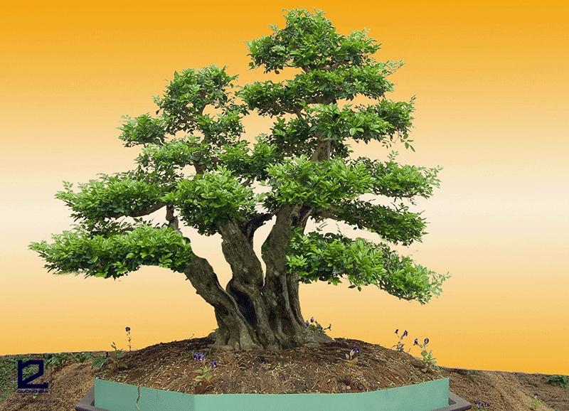 Cây phong thủy cho người tuổi Tý mệnh Kim - cây tùng la hán
