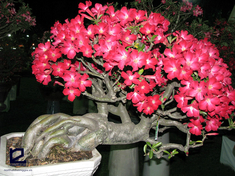 Cây phong thủy cho người tuổi Tý mệnh Thổ - cây hoa sứ