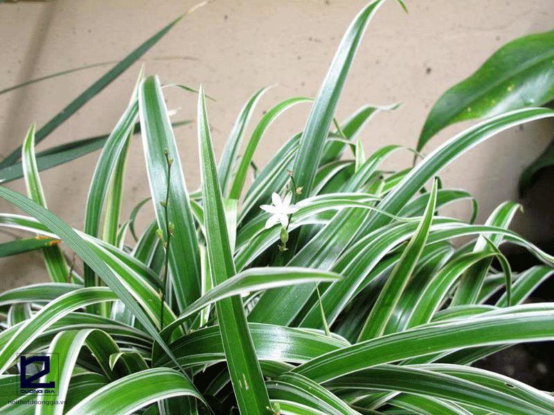 Cây phong thủy cho người tuổi Tý mệnh Thủy - cây cỏ lan chi