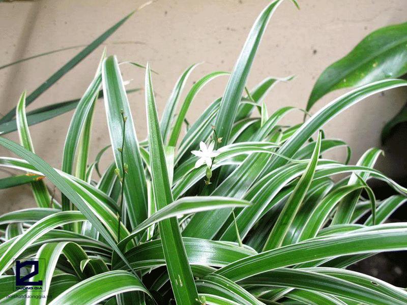 Cây phong thủy cho tuổi Tỵ mệnh Thủy - Cây cỏ Lan chi
