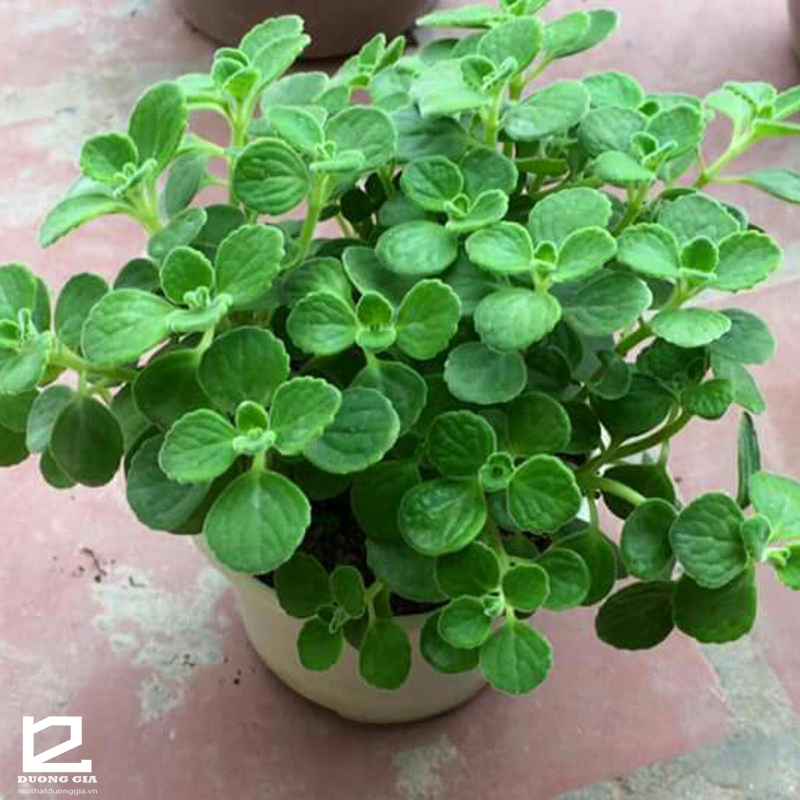 Cây phong thủy Nhất Mạt Hương - Cây phong thủy mini mang hương thơm dịu nhẹ