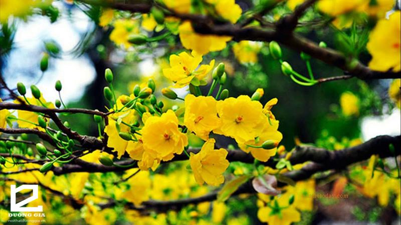 Cây hoa mai vàng - Cây phong thủy biểu tượng của sự giàu sang và cao quý