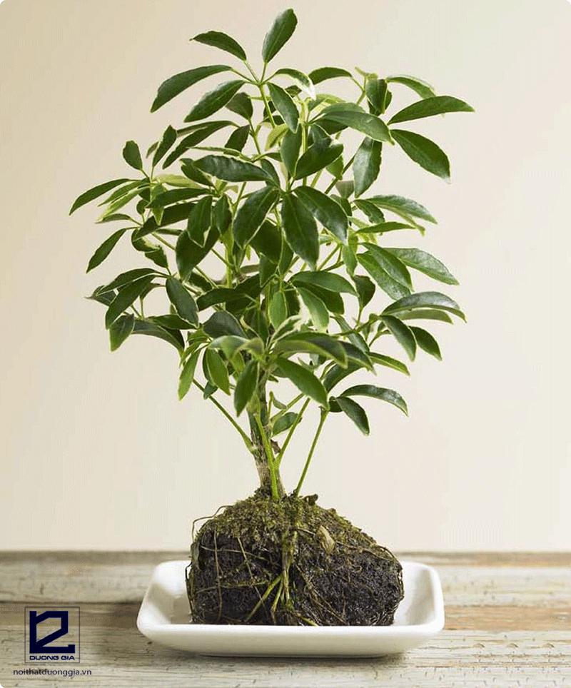 Cây phong thủy theo tuổi Dần - cây Ngũ gia bì