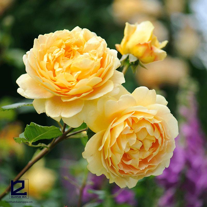 Cây phong thủy tuổi Ngọ mệnh Kim - cây hoa Hồng vàng