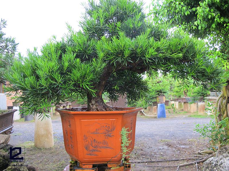 Cây phong thủy tuổi Ngọ mệnh Thủy - cây Ngũ gia bì