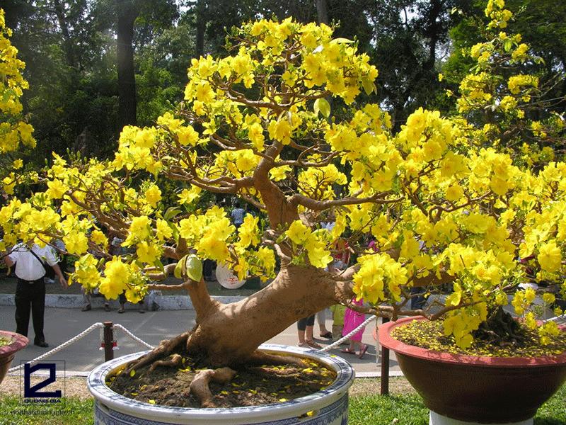Cây phong thủy tuổi Sửu mệnh Hỏa - cây hoa mai