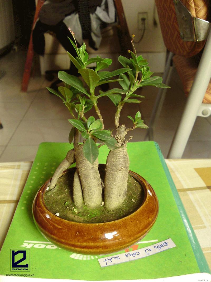 Cây phong thủy tuổi Tuất mệnh Mộc - cây Sâm cảnh