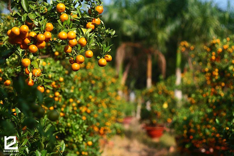 Cây quất - Một trong 5 loại cây phong thủy ngày Tết thu tài hút lộc cho gia chủ