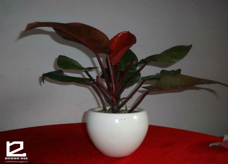Cây Trầu Bà Đế Vương Đỏ - Cây phong thủy lá đỏ mang ý nghĩa quyền lực