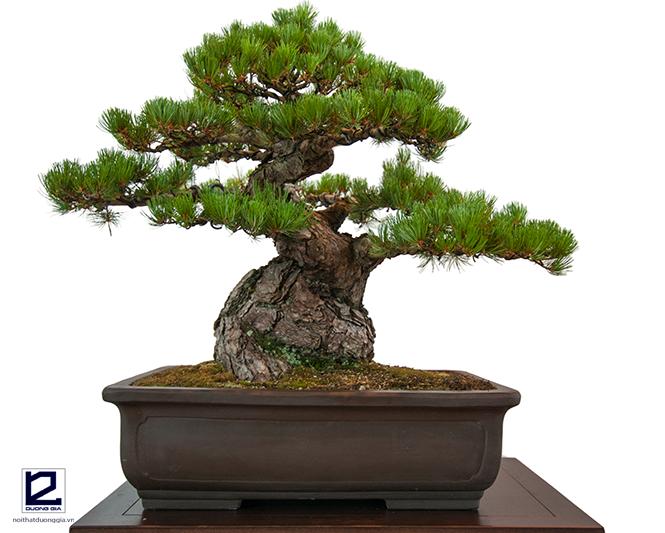 Chú ý trồng cây Thông, cây Vạn tuế xen kẽ nếu trồng cây Đa trước nhà