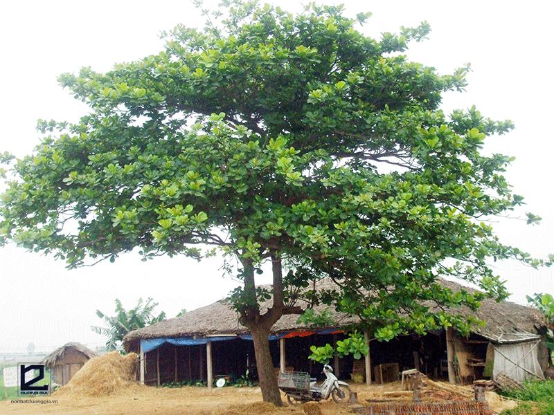 Có nên trồng cây Bàng trước nhà không?