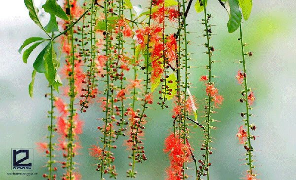 Có nên trồng cây Lộc vừng trước nhà không?