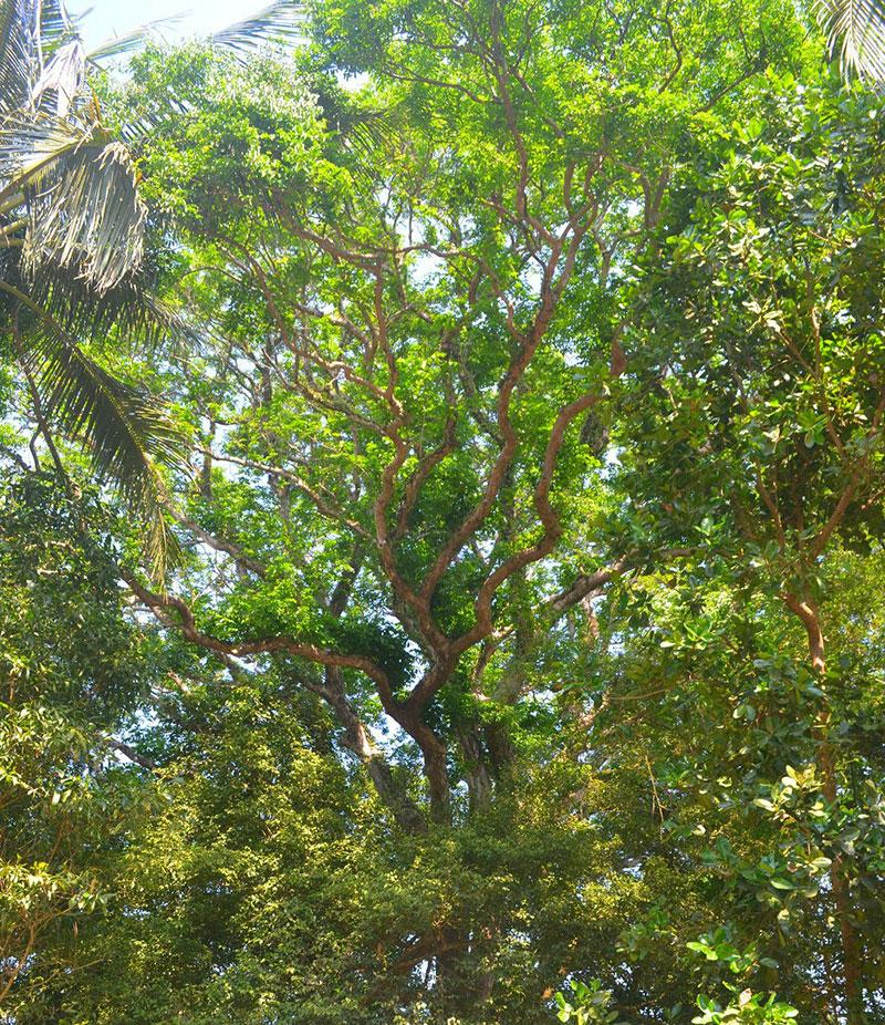 Để tốt cho phong thủy, có nên trồng cây Sưa trước nhà không?