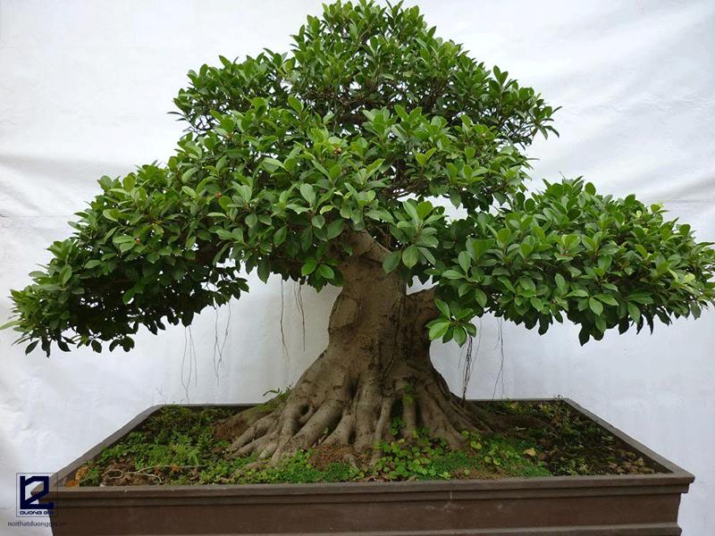 Lưu ý khi trồng cây Đa trước nhà
