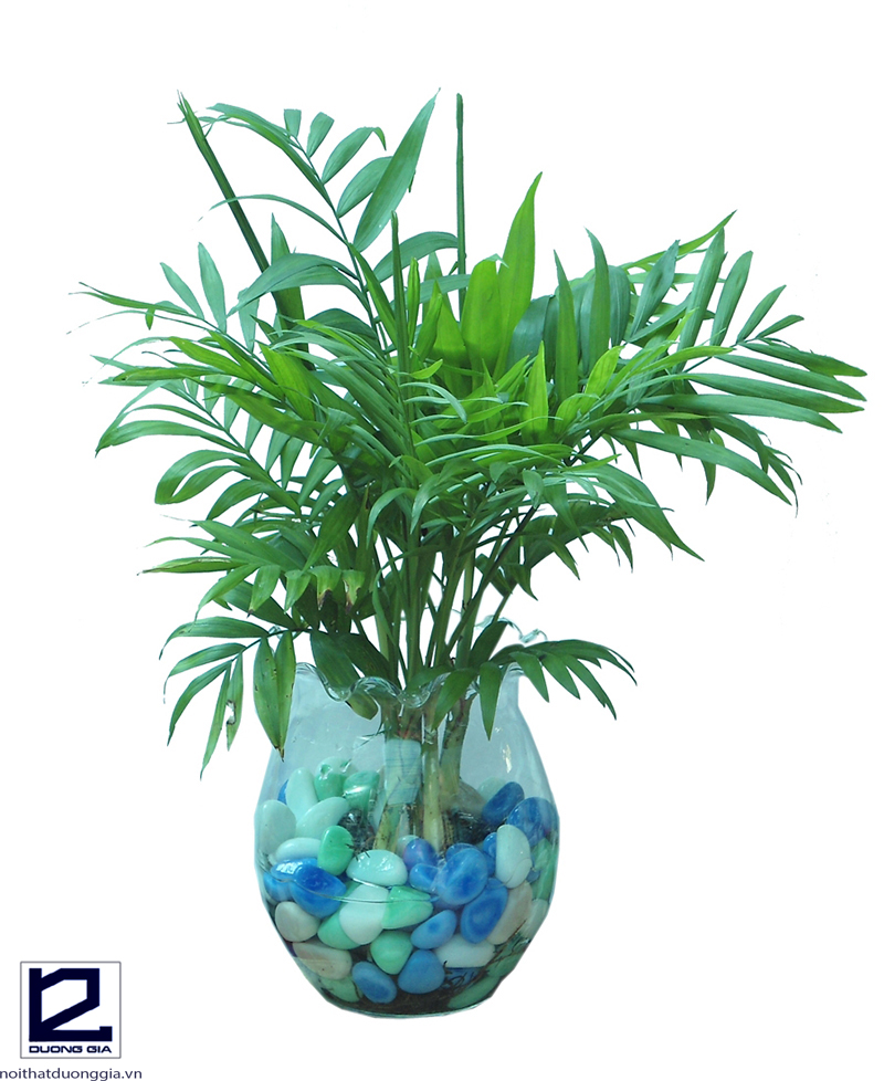 Nên trồng cây cau Hawaii trong giếng trời làm cây chủ đạo.