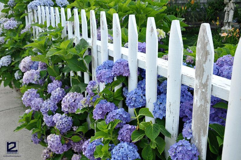 Nên trồng cây gì ở hàng rào - cây hoa Cẩm tú cầu
