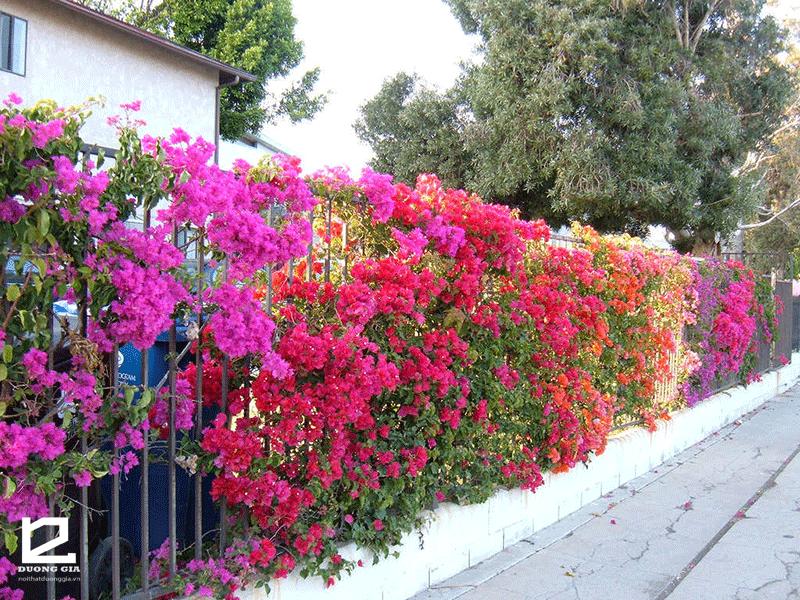 Nên trồng cây gì ở hàng rào - cây hoa Giấy