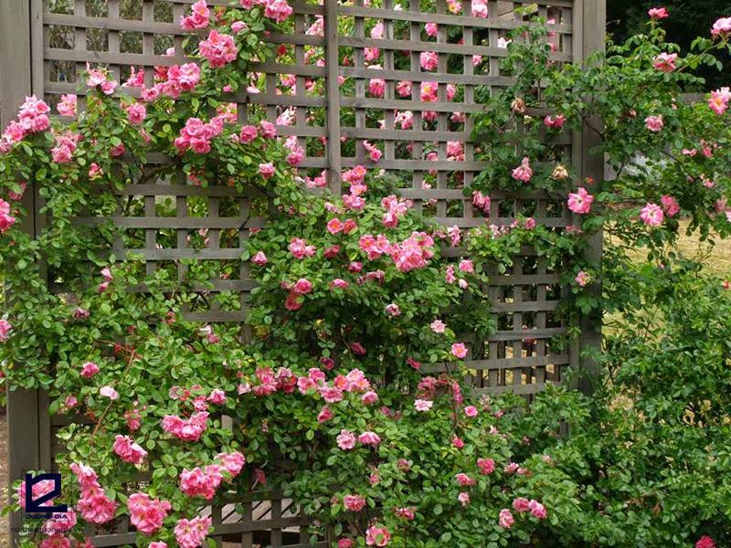Nên trồng cây gì ở hàng rào - cây hoa Hồng leo