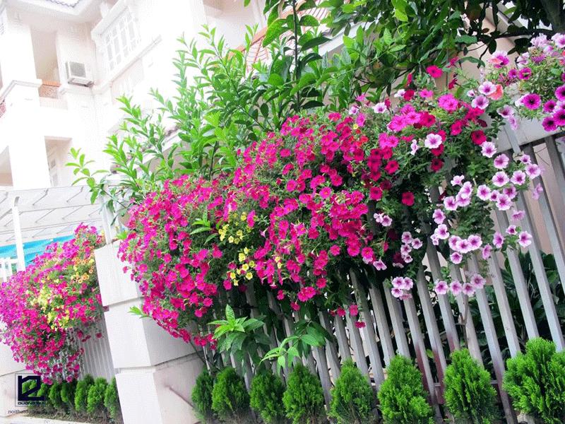 Nên trồng cây gì ở hàng rào - cây hoa Ti gôn
