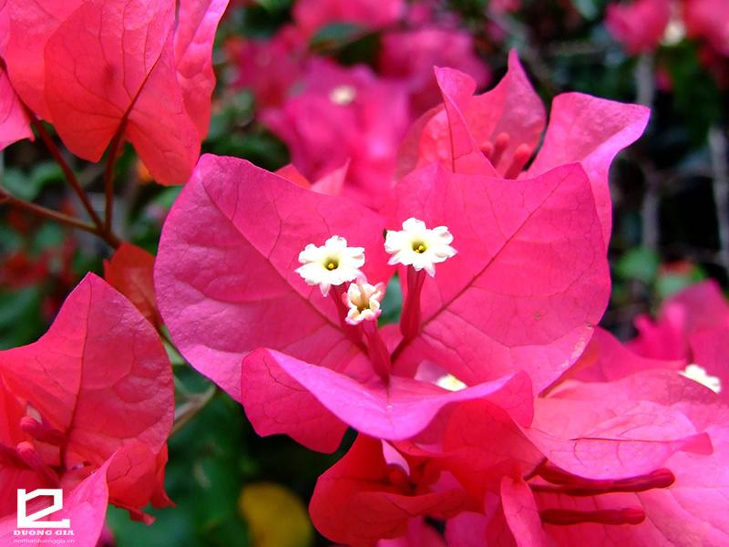 Nên trồng cây Hoa giấy ngoài ban công chung cư.