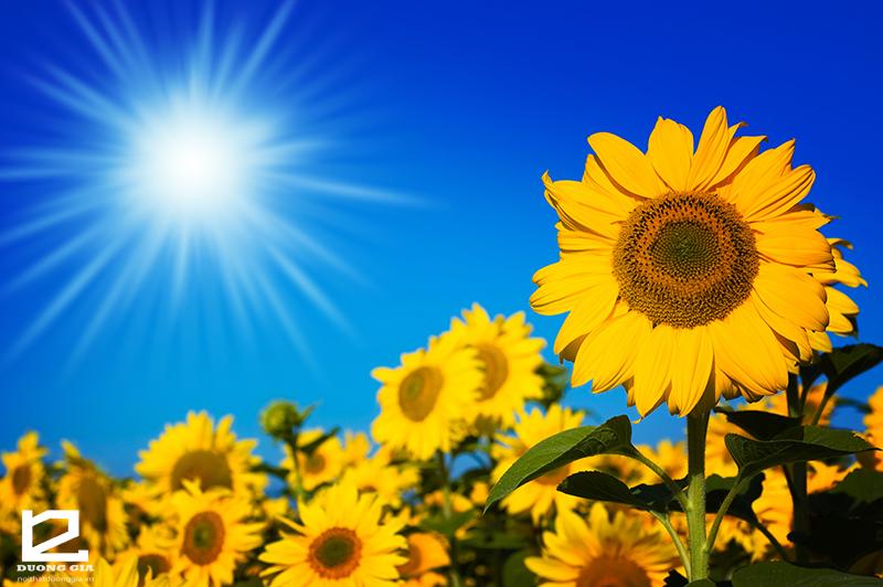 Cây Hoa hướng dương - Sự lựa chọn lý tưởng cho những gia chủ đang băn khoăn không biết nên trồng cây gì ở ngoài ban công chung cư chịu nắng tốt.