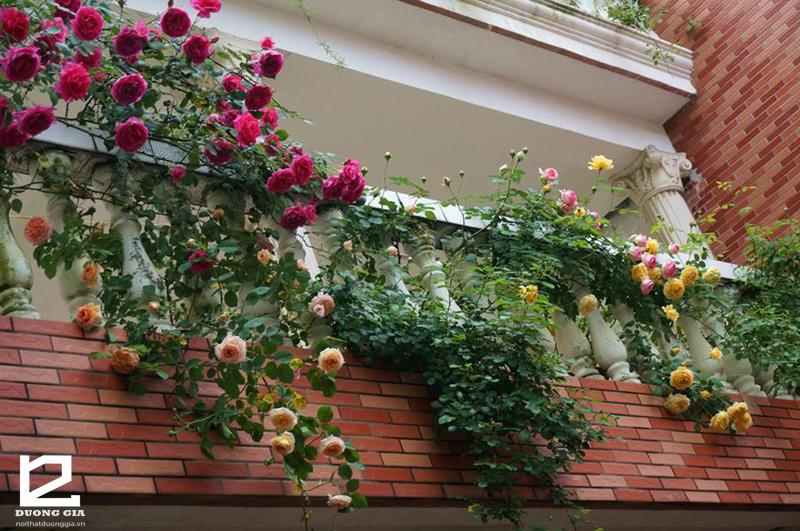 Nên trồng cây Hoa hồng ở ngoài ban công chung cư vì có khả năng chịu nắng tốt và mang lại giá trị phong thủy.