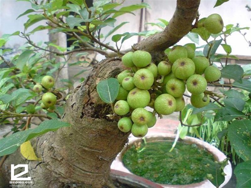 Nên trồng cây Sung quanh nhà.