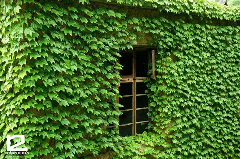 """Cây Thường Xuân - Lời giải đáp phù hợp co câu hỏi """"Nên trồng cây gì quanh nhà?"""""""