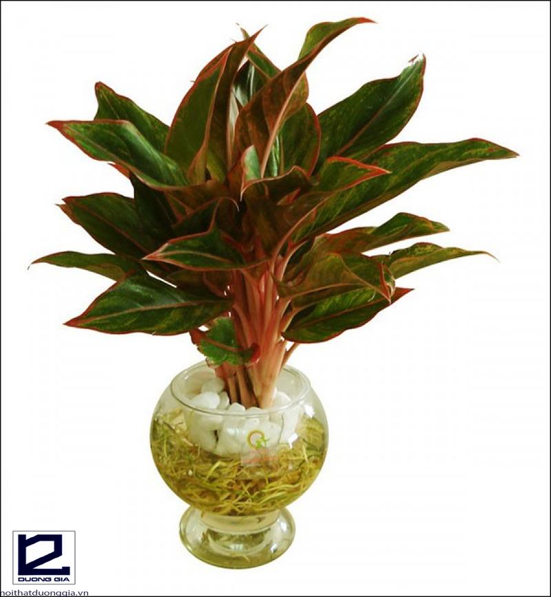 Trồng cây Phú quý trong nhà sẽ làm ăn phát đạt, tài vận hanh thông.