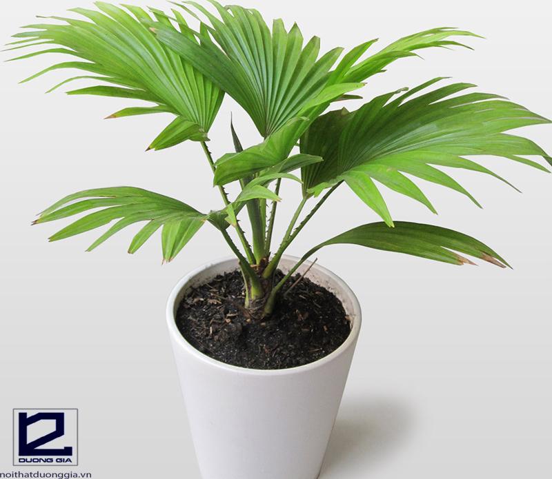 Bạn nên chọn cây cọ cảnh nếu đang băn khoăn không biết nên trồng cây gì quanh nhà.
