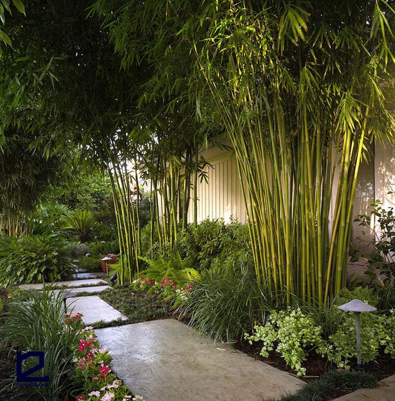 Cây trúc cũng là loại cây nên trồng ở sau nhà