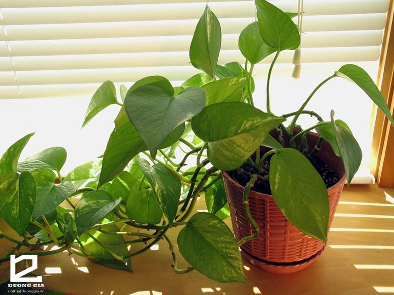 Những loại cây tô điểm (tạo điểm nhấn) nên trồng trong giếng trời