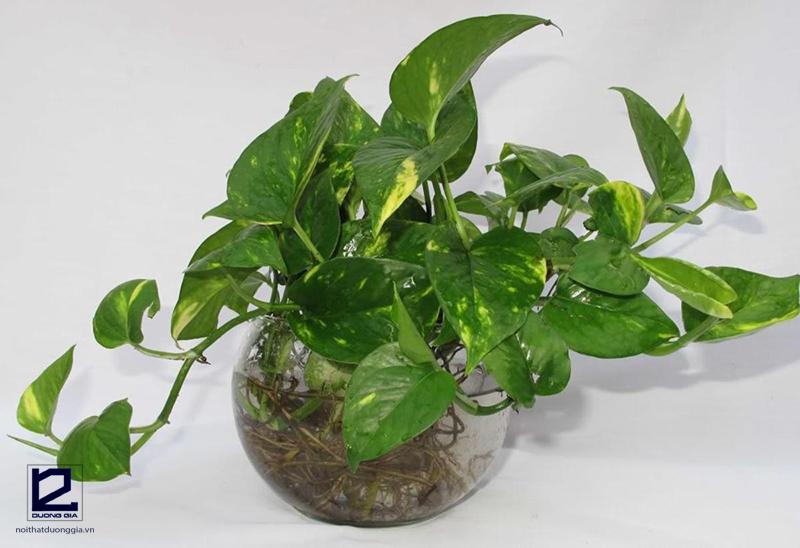 Nên trồng cây gì trong phòng ngủ - Cây Trầu bà
