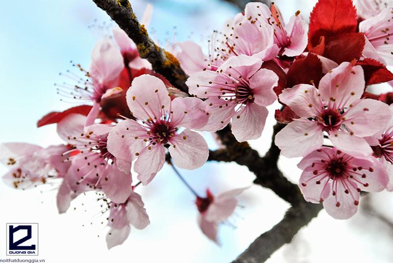 Nên trồng cây hoa đào trước cổng nhà