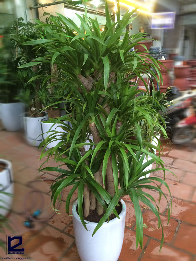 Nên trồng cây Đại Lộc trước cổng nhà