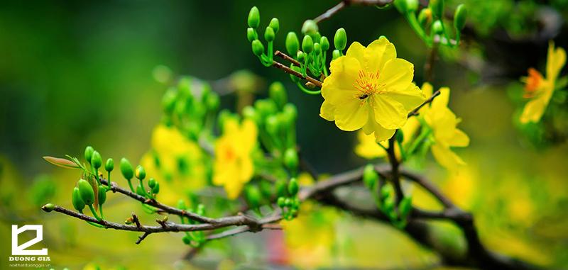 Nên trồng cây hoa mai vàng trước cổng nhà