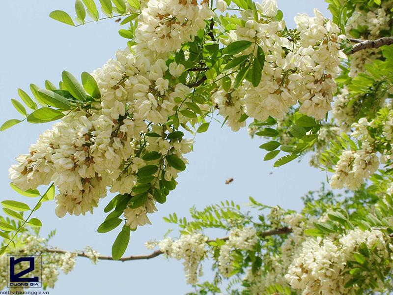 Nên trồng cây hoa hòe trước hiên, sân nhà để gặp nhiều may mắn