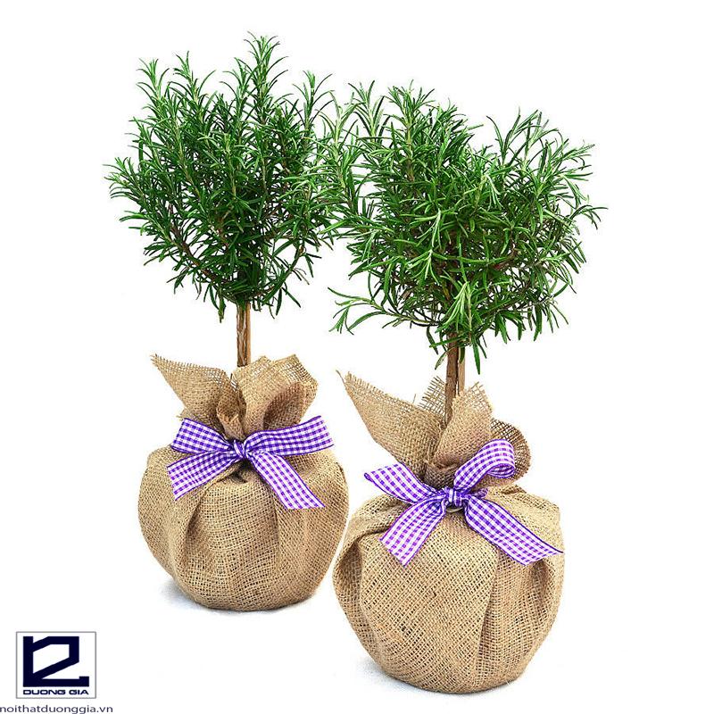 Nên trồng cây Hương Thảo trong nhà bếp