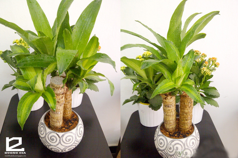 Thiết mộc lan cũng là một trong những câu trả lời phù hợp nhất cho nỗi băn khoăn không biết nên trồng cây gì trong phòng khách của gia chủ.