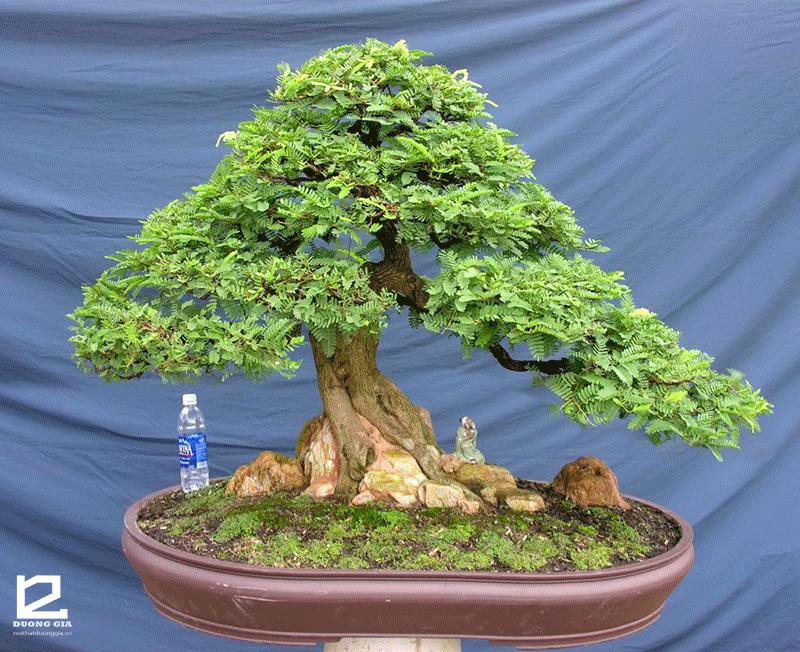 Nếu sân nhỏ mà muốn trồng cây Me trước nhà thì bạn có thể chọn cây Me bonsai