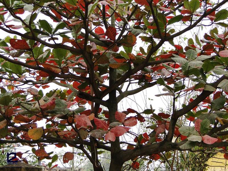 Trồng cây Bàng trước nhà theo phong thủy